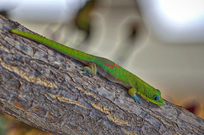Gecko sur un membre image stock