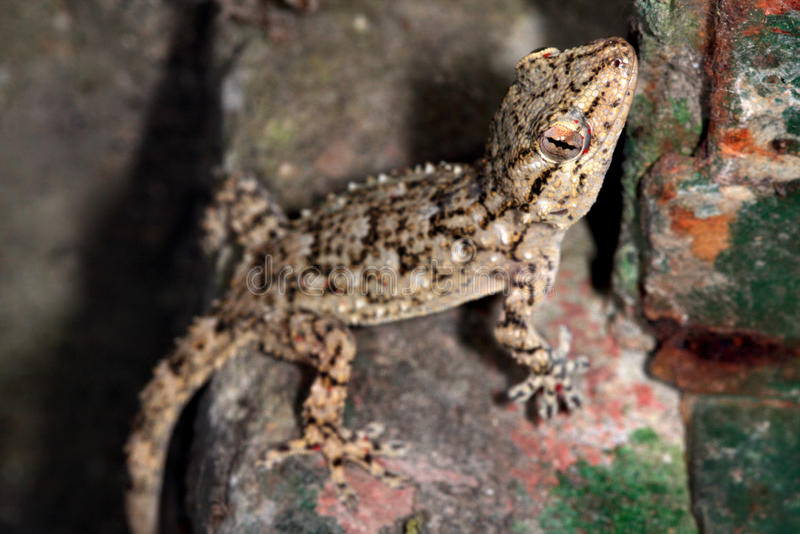 Gecko (Tarentula mauritanica) arkivbilder