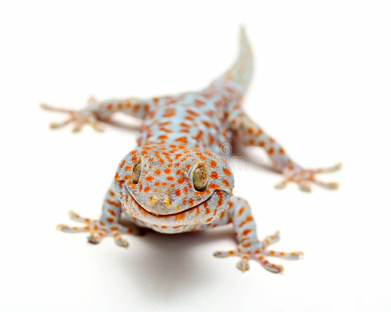 Gecko Thaïlande de Tokay photo stock