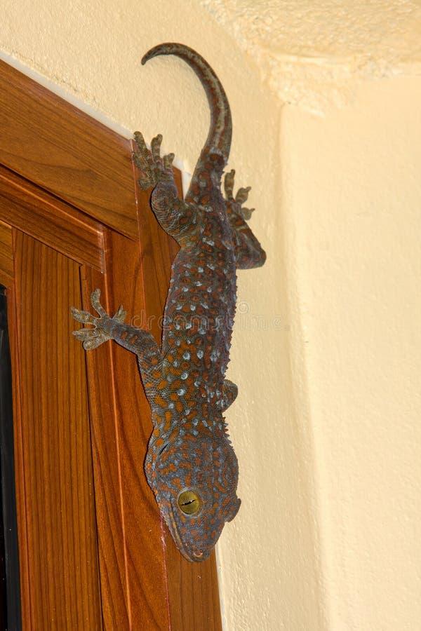 Gecko Thaïlande de Tokay image stock