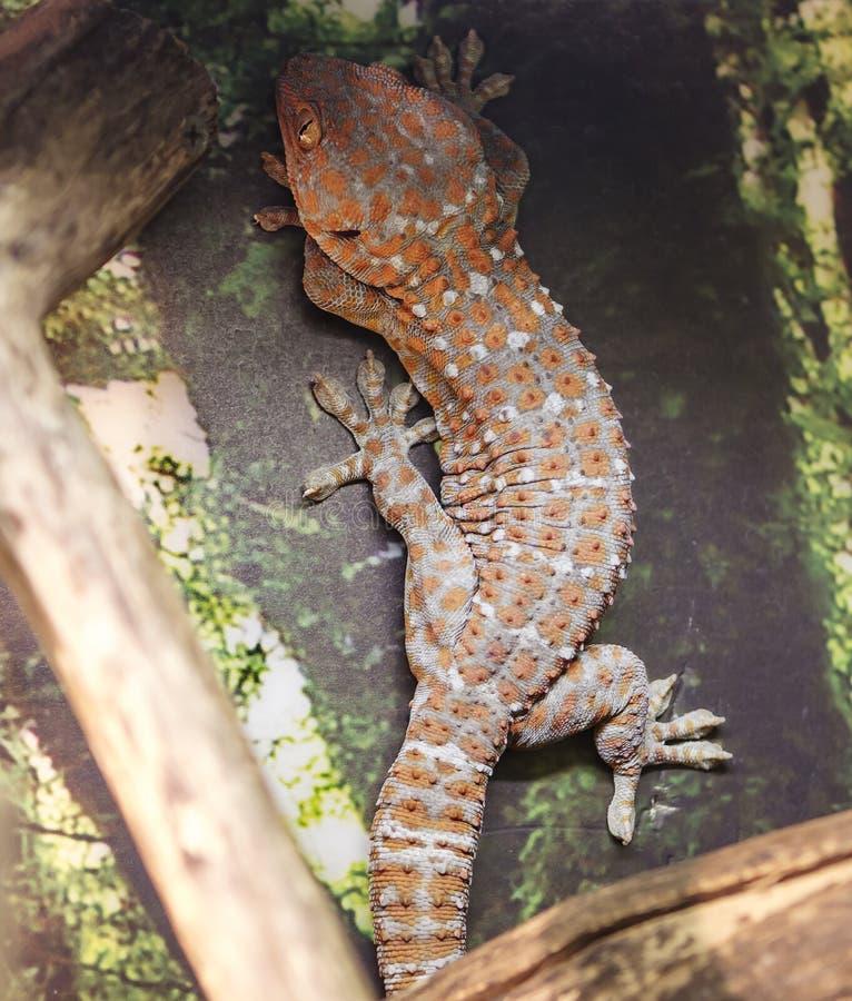 gecko tokay στοκ φωτογραφίες με δικαίωμα ελεύθερης χρήσης