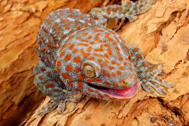 gecko tokay στοκ εικόνα με δικαίωμα ελεύθερης χρήσης