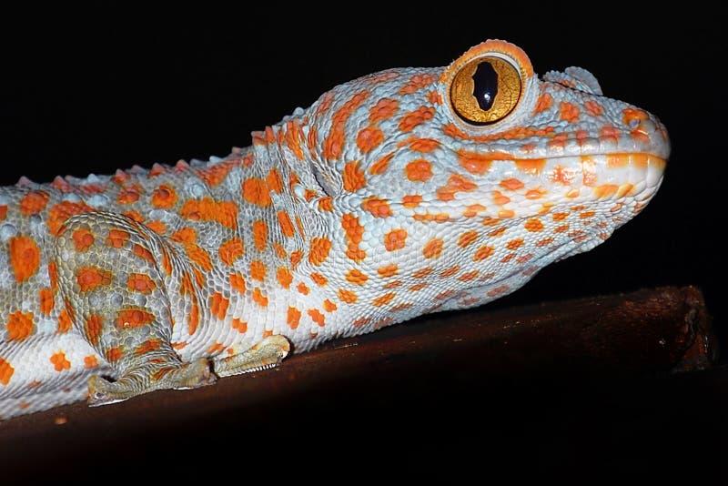 Gecko tokay de sourire images stock