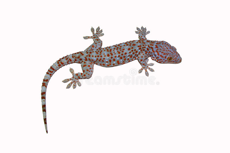 Gecko. Tokay Gecko in front of a white background stock images