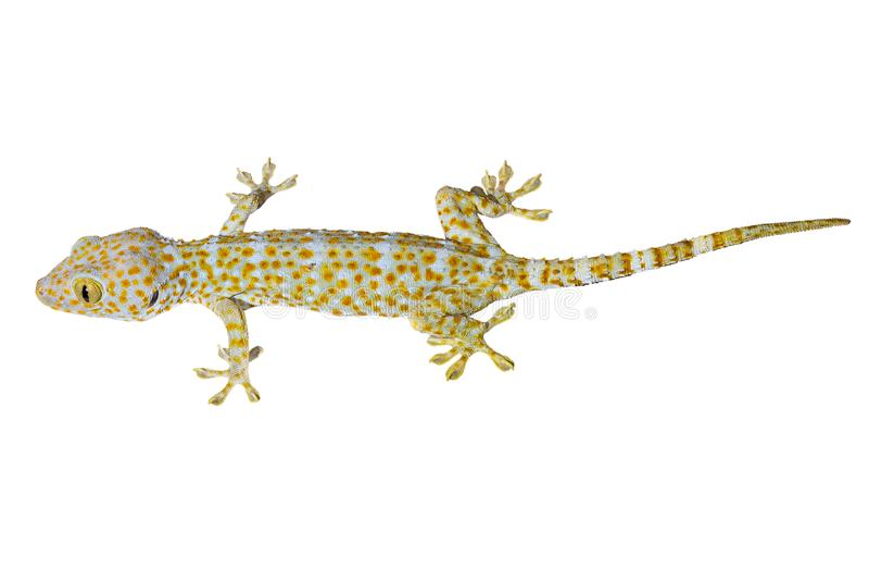 Gecko tokay sain de la Thaïlande d'isolement sur le fond blanc photo libre de droits