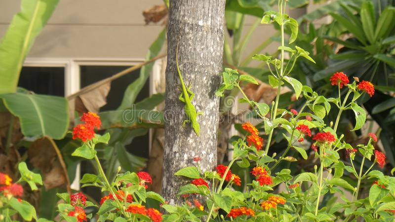 The Gecko. Tree, green, lizards, reptile stock image