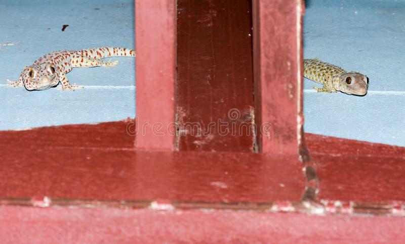 Gecko två på väggen på midnatt fotografering för bildbyråer