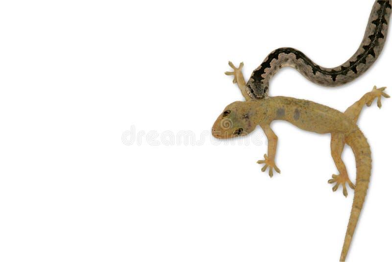 Gecko und Schlange auf weißem Hintergrund stockfoto