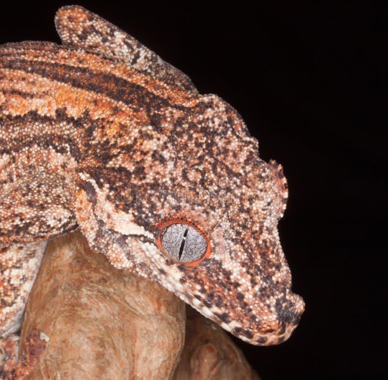 Gecko upp slut fotografering för bildbyråer