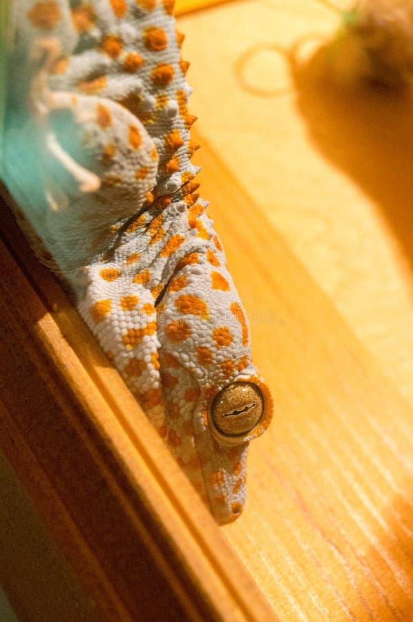 Gecko variopinto immagini stock libere da diritti