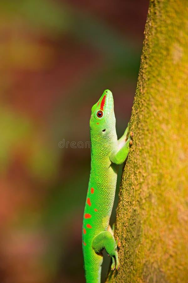 Gecko verde fotografie stock