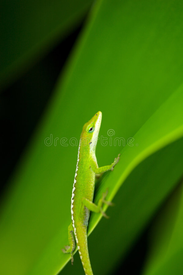 Gecko verde fotografia de stock