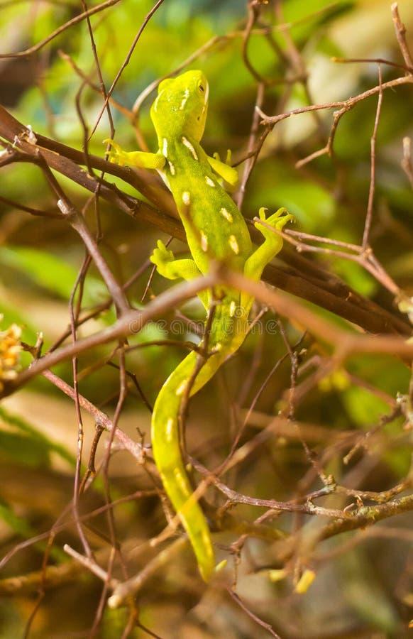 Gecko verde imagem de stock royalty free