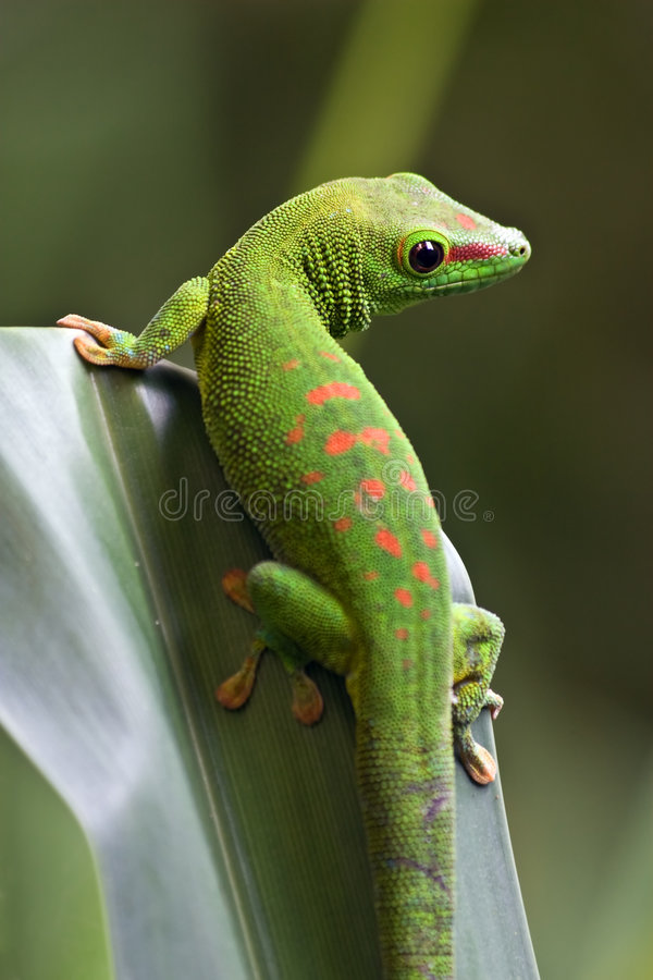 Gecko verde foto de stock royalty free