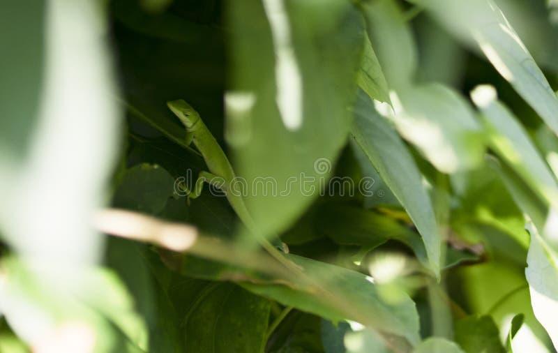 Gecko verde immagine stock