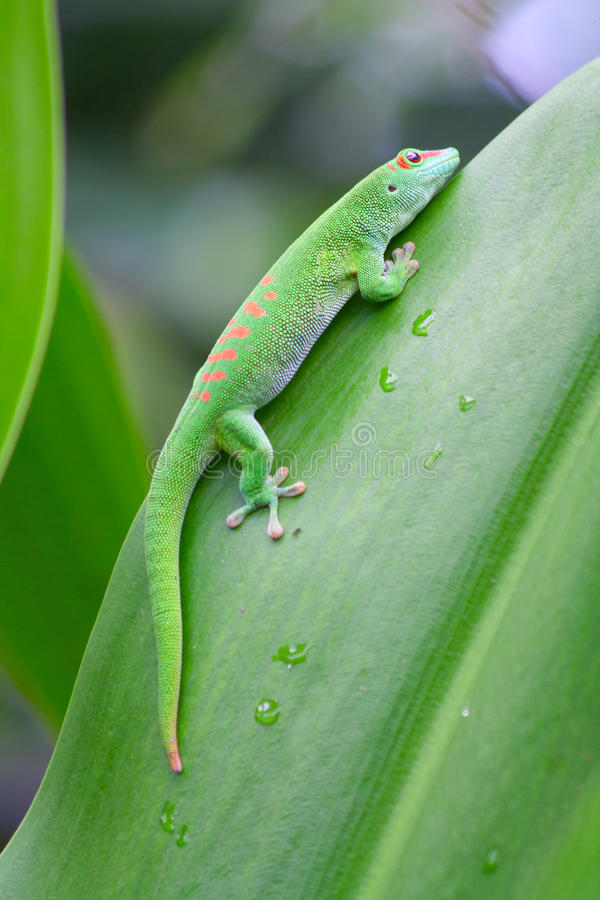 Gecko verde immagine stock libera da diritti
