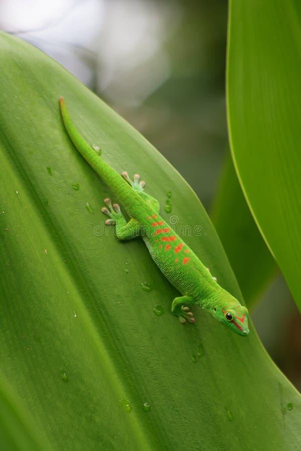Gecko verde fotografia stock libera da diritti