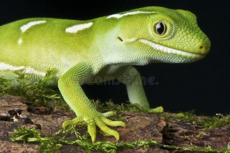 Gecko vert d'Auckland photo stock