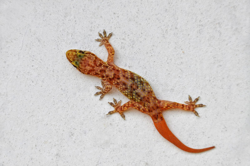 Download Gecko On The Wall Royalty Free Stock Photo - Image: 20248215