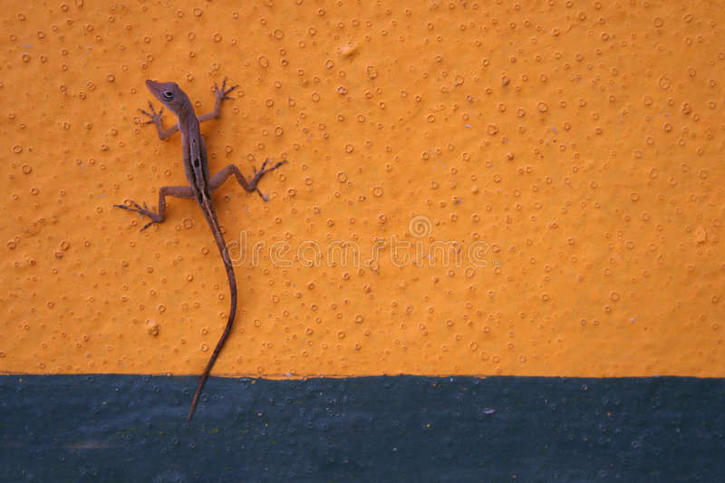 Gecko on Wall stock photography