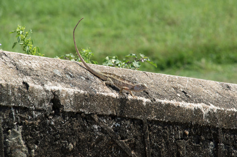 Gecko. A Gecko on a wall enjoying the sun royalty free stock image