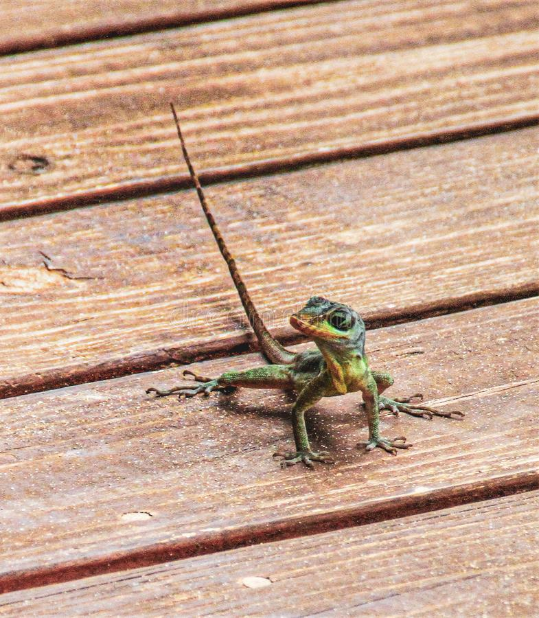 Gecko in the West Indies stock photos