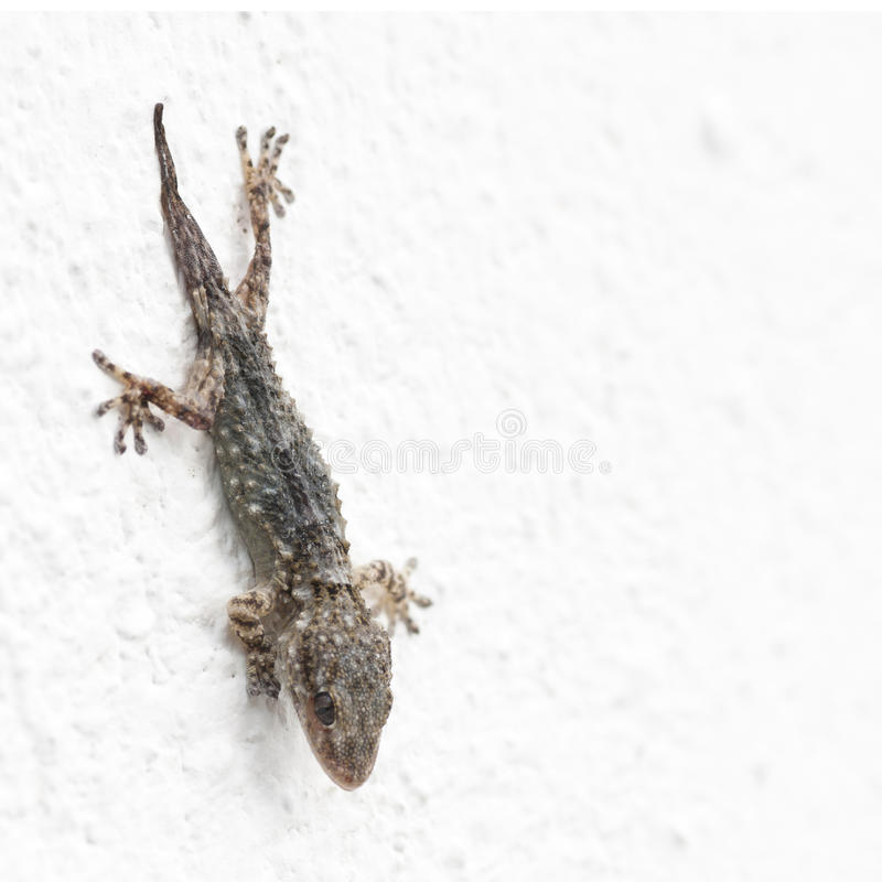Gecko on a white wall. Nice animal royalty free stock images