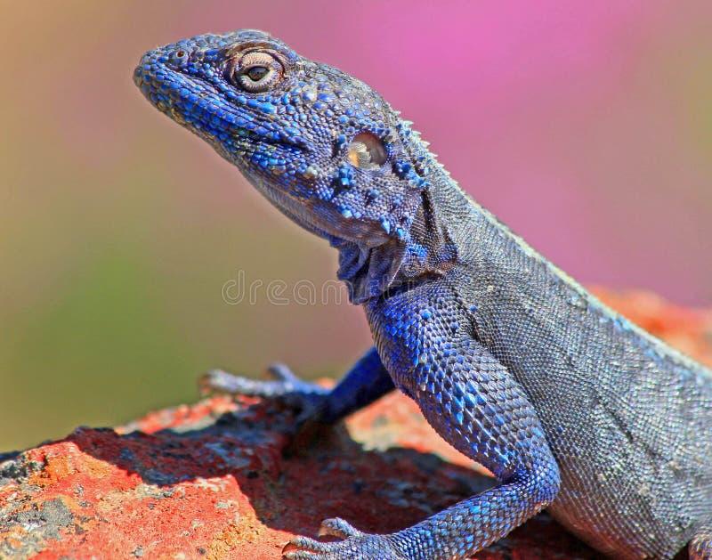 Geckoblau stockfotos