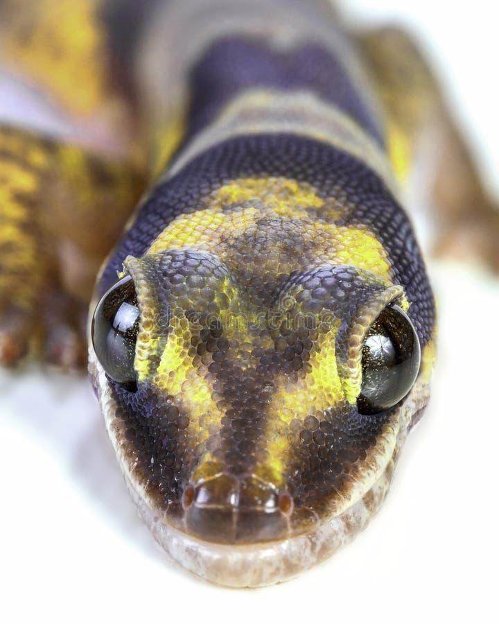 Geckocloseup royaltyfri foto
