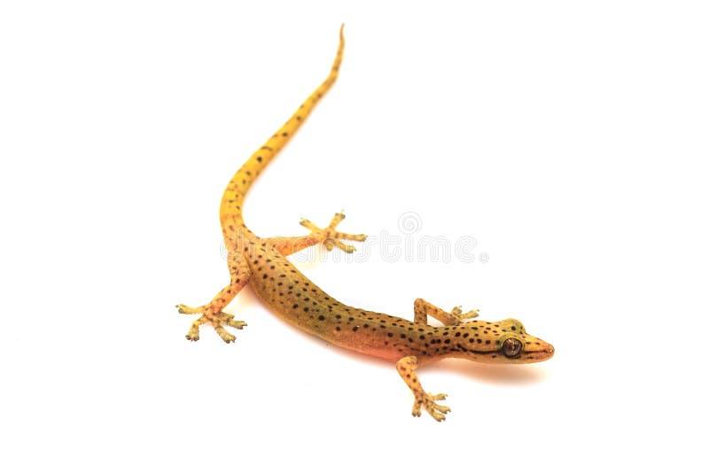 Geckoeidechse lokalisiert auf Weiß lizenzfreie stockbilder