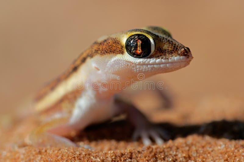geckojordning kalahari royaltyfri fotografi
