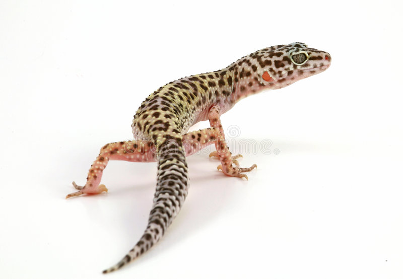 geckoleopardödla arkivbilder