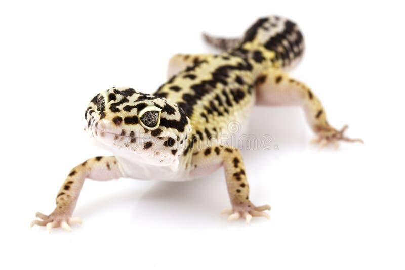 geckoleopard royaltyfria bilder