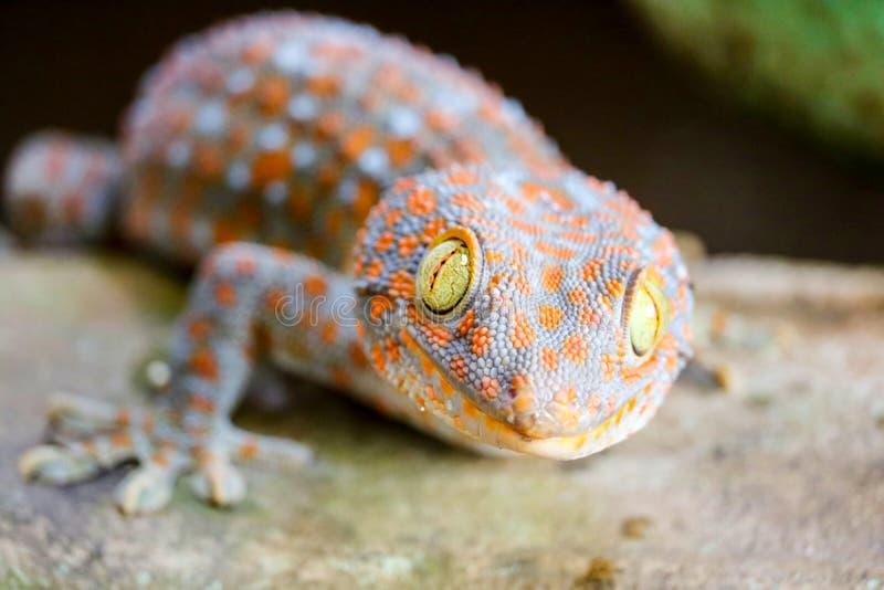 geckon avverkar från väggen in i vattenbehållare och klättrade på kanten av handfatet royaltyfri fotografi