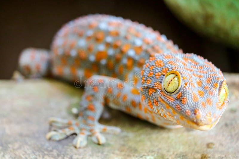 geckon avverkar fr?n v?ggen in i vattenbeh?llare och kl?ttrade p? kanten av handfatet royaltyfria bilder