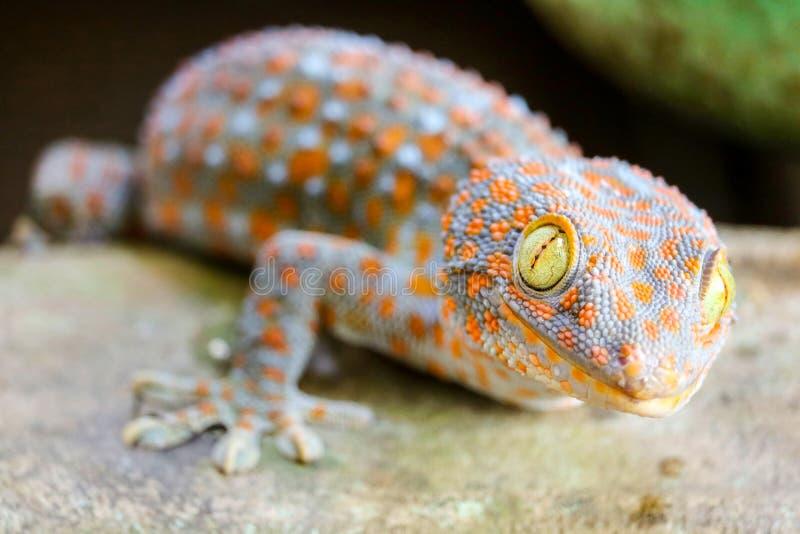 geckon avverkar fr?n v?ggen in i vattenbeh?llare och kl?ttrade p? kanten av handfatet fotografering för bildbyråer