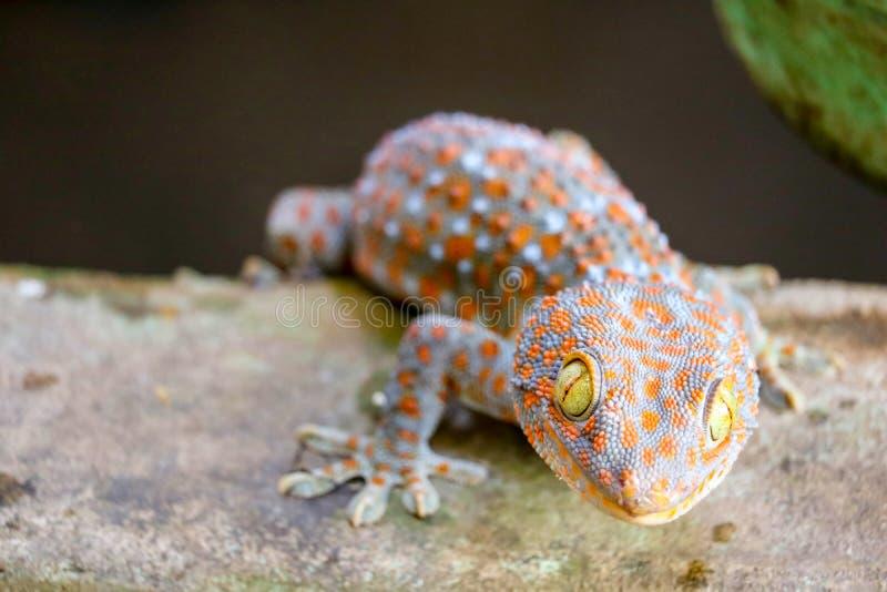 geckon avverkar fr?n v?ggen in i vattenbeh?llare och kl?ttrade p? kanten av handfatet royaltyfri foto