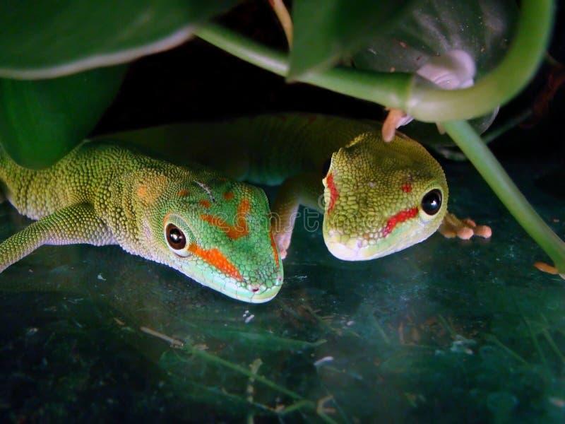 Geckos gigantes do dia de Madagascar fotografia de stock