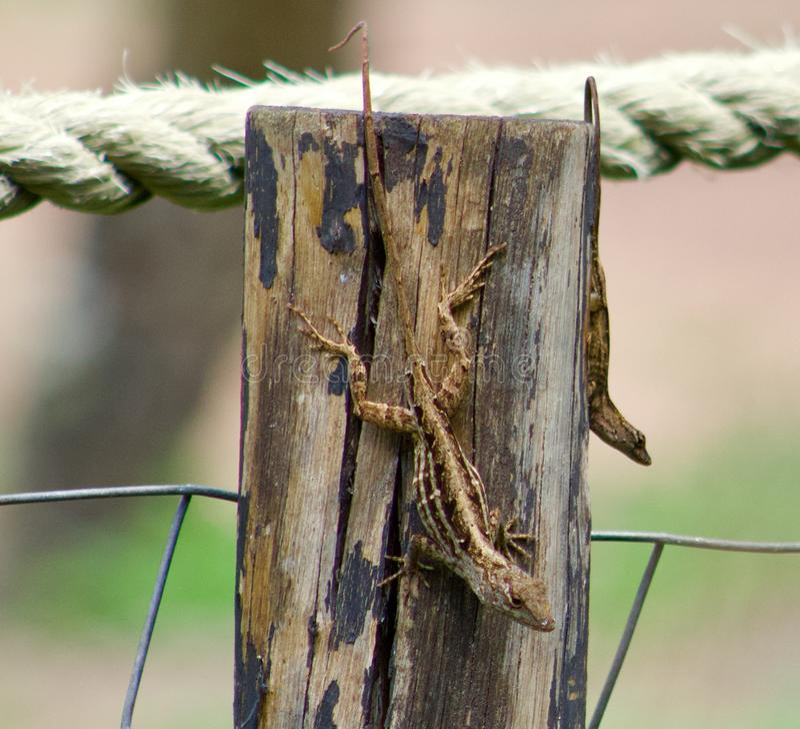 Geckos sur un courrier photo libre de droits