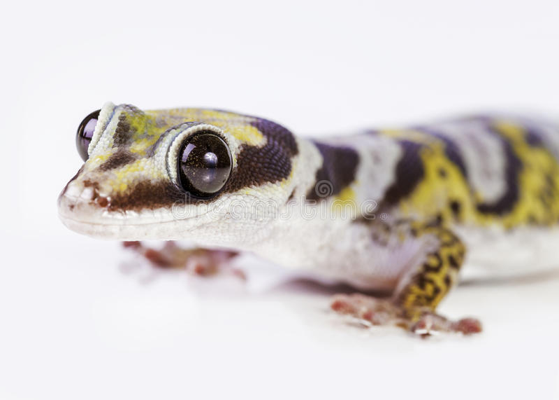 Geckostående royaltyfri bild