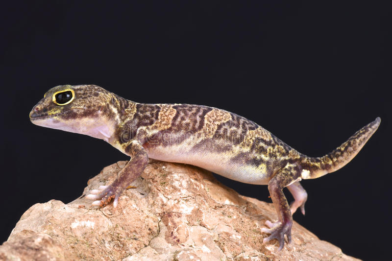Geco agarrado africano (africanus de Holodactylus) fotos de stock royalty free