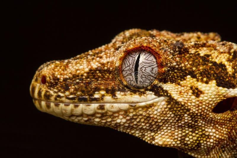 Geco da gárgula (auriculatus de Rhacodactylus) no perfil fotografia de stock royalty free