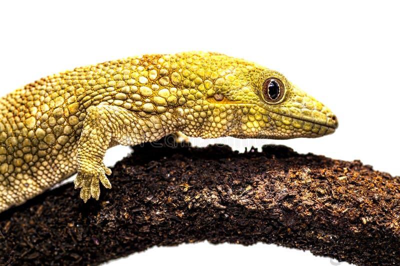 Geco del camaleonte di Eurydactylodes agricolae/Bauer fotografie stock libere da diritti