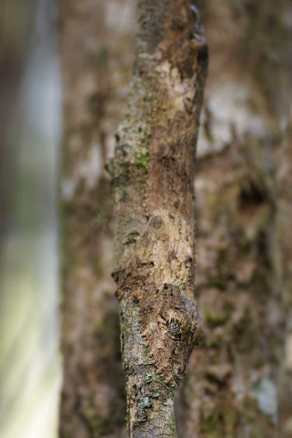 Geco del sud della Foglia-coda - sikorae di Uroplatus fotografia stock libera da diritti