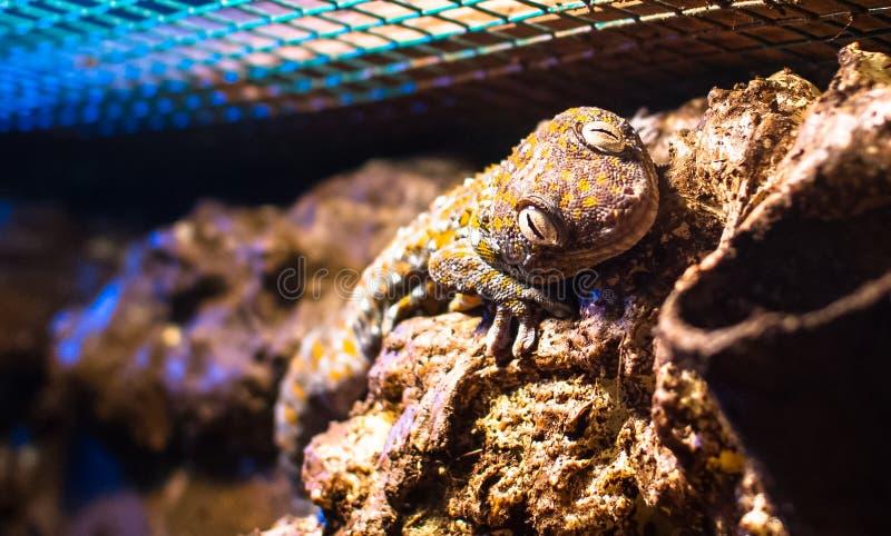 Geco di Gekko del geco di Tokay nell'ambito di luce artificiale fotografia stock
