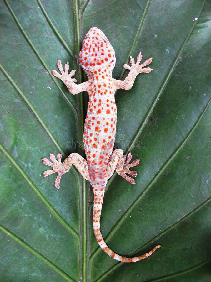 Geco do geco do geco de Tokay na folha verde fotografia de stock royalty free