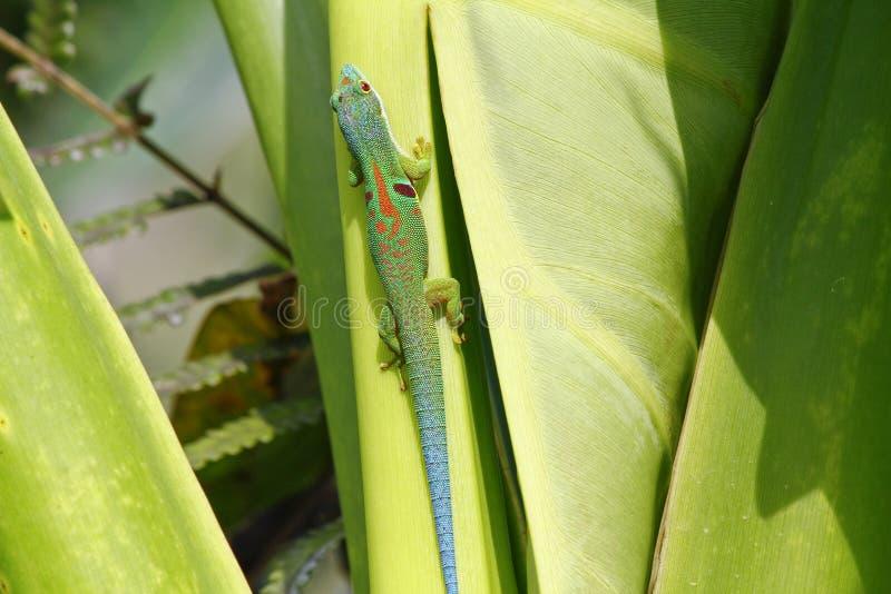 Geco do dia de Madagáscar (madagascariensis de Phelsuma) foto de stock