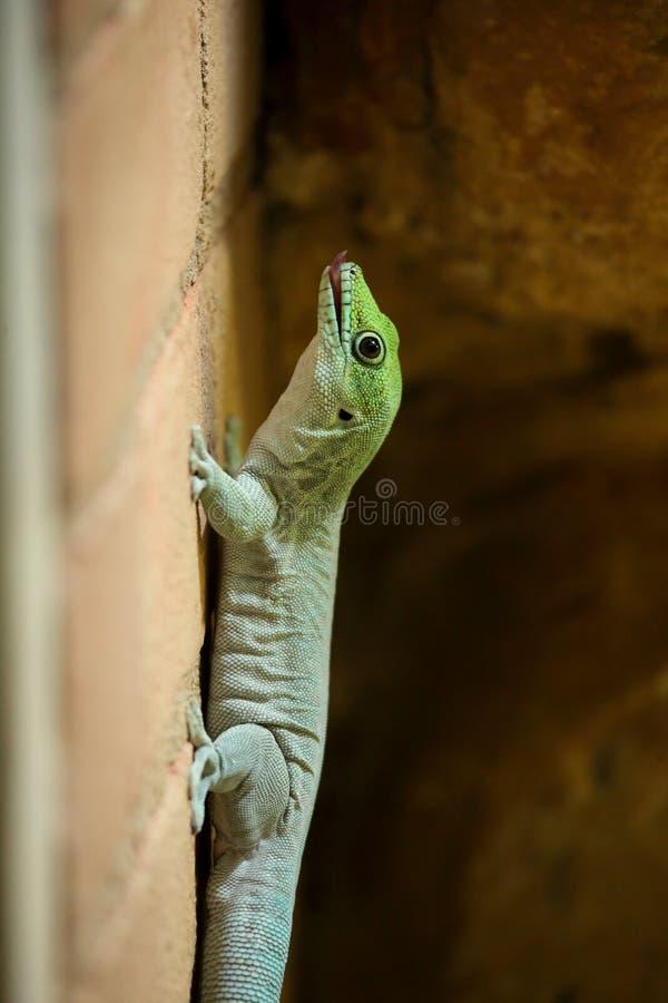 Geco do dia de Madagáscar (madagascariensis do madagascariensis de Phelsuma) foto de stock