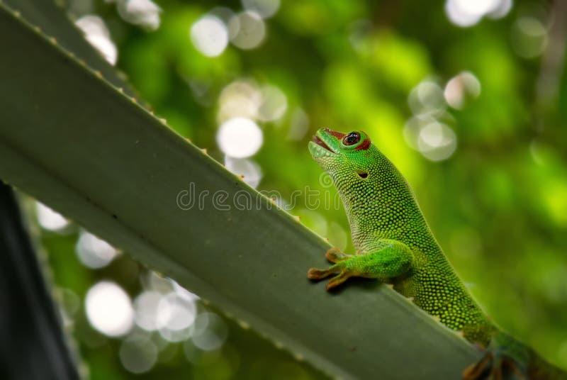 Geco do dia de Madagáscar - madagascariensis de Phelsuma fotografia de stock royalty free