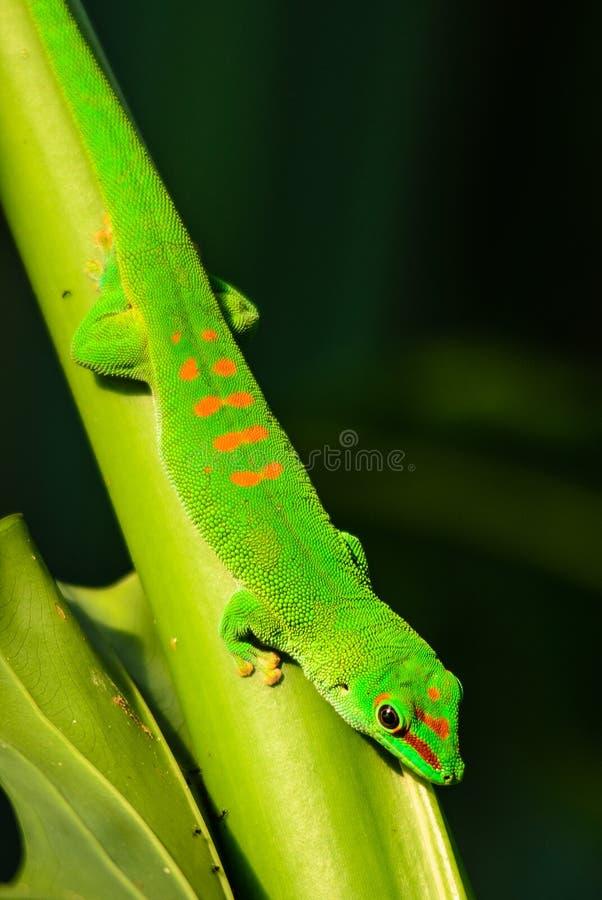 Geco do dia de Madagáscar - madagascariensis de Phelsuma fotos de stock royalty free